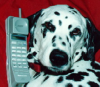 dalmation on telephone